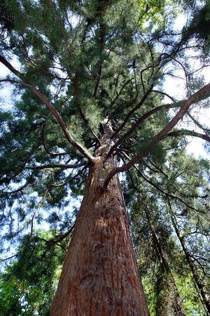 sequoia: Sequoia