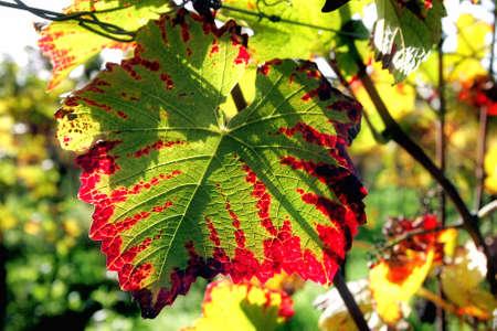 hojas parra: Hojas de vid en otoño