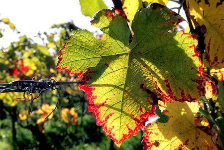 hojas vid: Hojas de vid en otoño