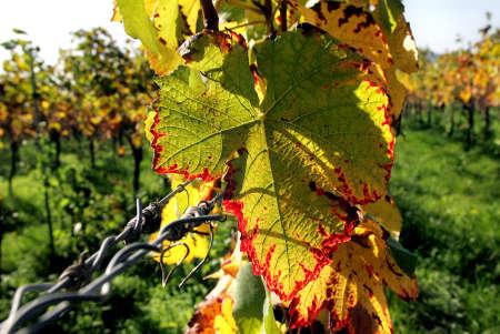hojas parra: Hojas de vid en oto�o