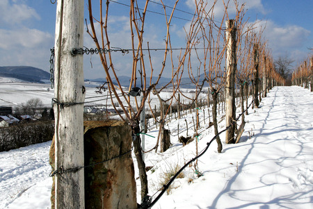 viniculture: Vineyard in the snow Stock Photo
