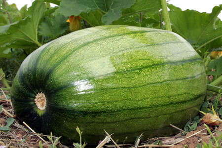 huge: huge green Squash Stock Photo