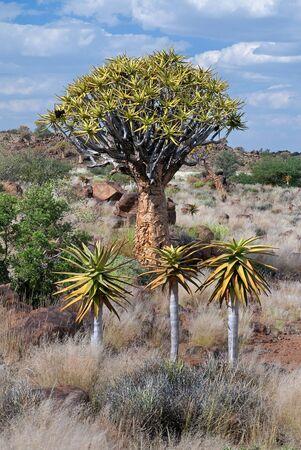 dichotoma: Aloe dichotoma