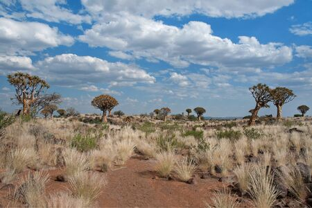 dichotoma: Landscape in Namibia