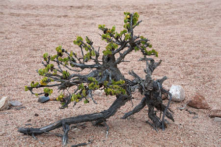 suelo arenoso: Taler arbusto, Namibia