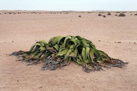 mirabilis: Welwitschia mirabilis, Namibia Stock Photo