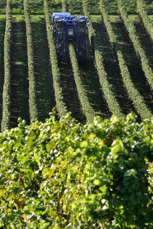 viniculture: Grape harvesting machine