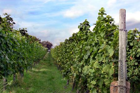 viniculture: Vineyard Stock Photo