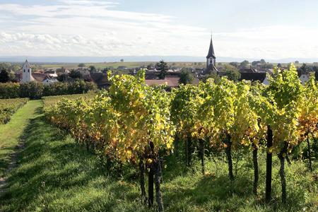 winegrowing: Vineyard in Pfalz