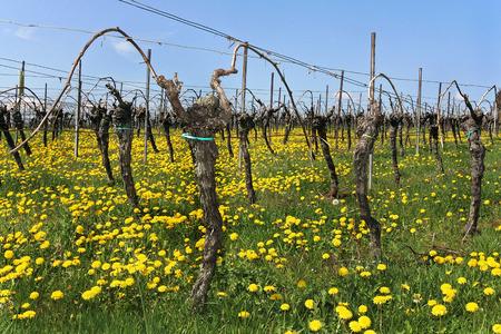 winegrowing: Vineyard in spring Stock Photo