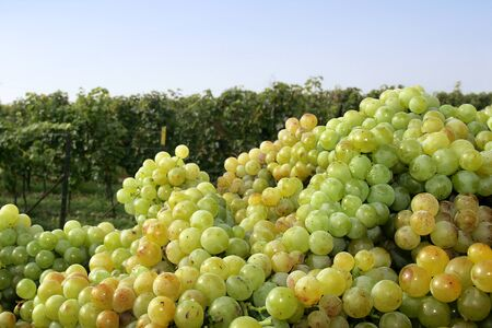 winegrowing: Grapes