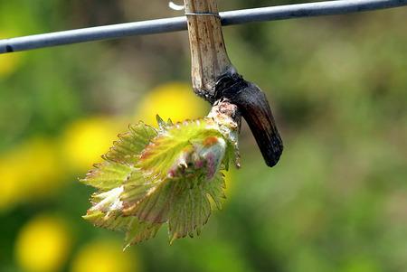 viniculture: Vine