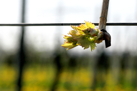 winegrowing: Vine