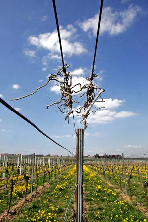 winegrowing: Vineyard In Springtime
