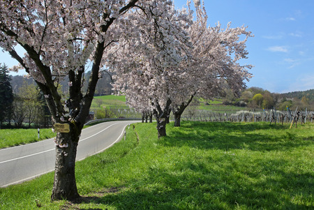 winegrowing: Almond trees in the Pfalz