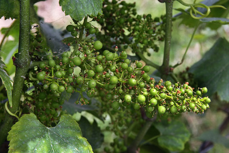 viniculture: young grapes Stock Photo