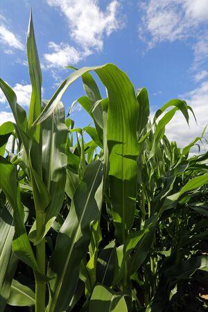 champ de mais: Champ de blé Banque d'images