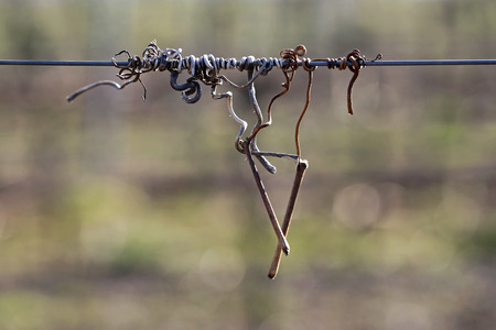 vine tendril 写真素材