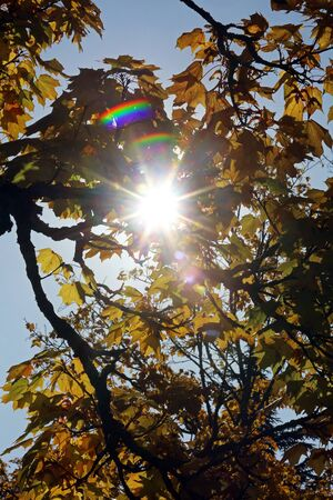 Maple tree in autumn Stock Photo