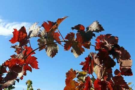 Wine leaves in autumn Stock Photo