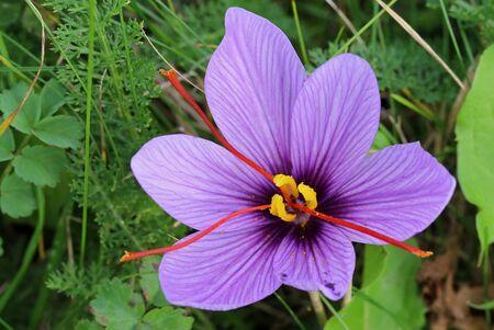 Saffron blossomed Standard-Bild - 133428529