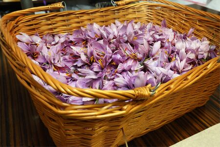 Freshly harvested saffron flowers