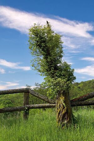 Mossy tree trunk with wooden fence