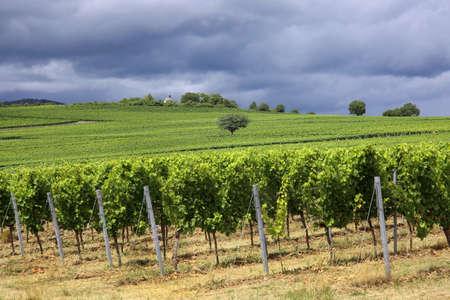Vineyards in the Palatinate Standard-Bild