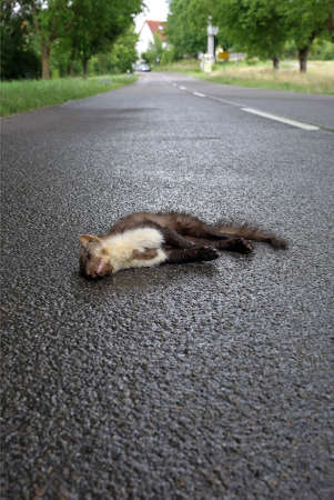 Game accident - dead marten Standard-Bild