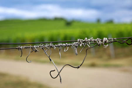 Grapevines curls on the wire Standard-Bild