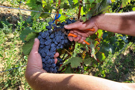 Grape harvest by hand Standard-Bild