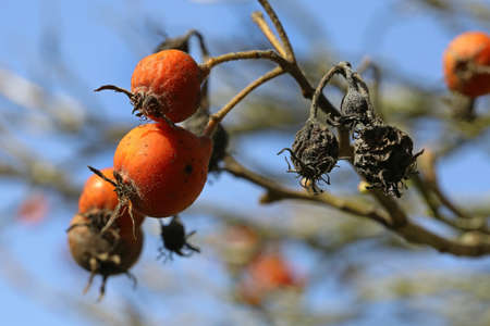 withered rose hips, rose hips