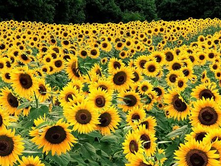 Million yellow sunflower on a huge field in the village Stock Photo