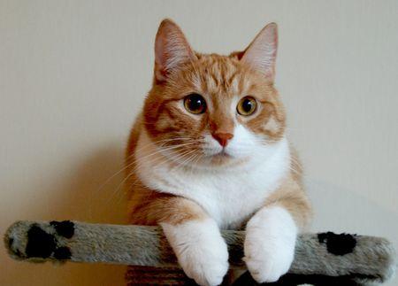 gato naranja: Orange cat