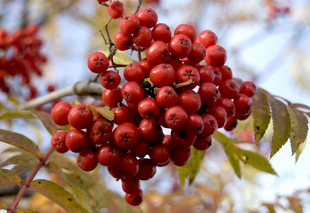 Closeup autumn rowan-berry tree with clusters of berries photo