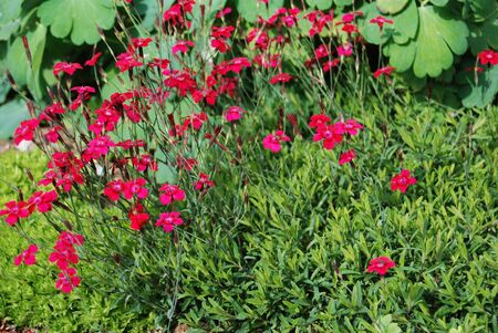 A beautiful alpine garden containing a wide variety of plants Flower of Dianthus