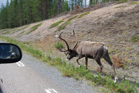 reindeer near road in scandinavia