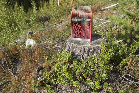 Cowberry in scandinavian forest photo