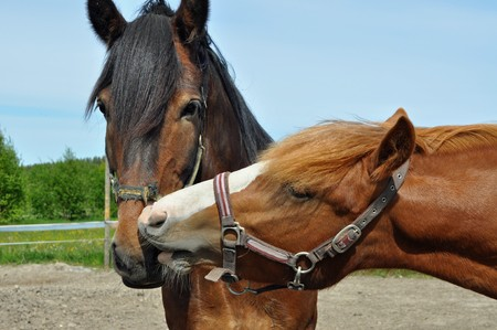 countryside loving: Two loving each other horses Stock Photo