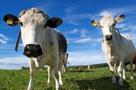 Two cows in swedish field Stock Photo - 8459322