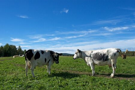 Two cows in swedish fjeld Stock Photo - 8557207