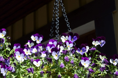 yellows: Colorful Viola flowers in a basket