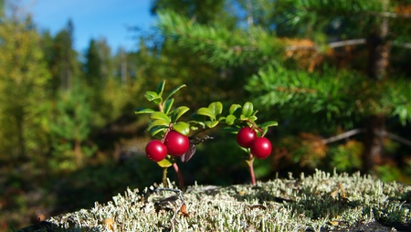 cowberries in forest Stock Photo - 17089365