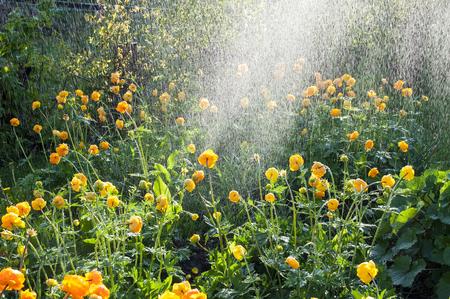 Watering flowers trollius in the garden photo