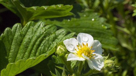 strawberry blossom with water drops