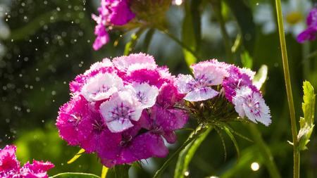 Rainy garden,  flowers with a drops,Dianthus barbatus Stock Photo