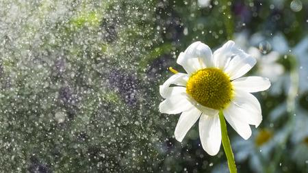 camomile in the rainy garden