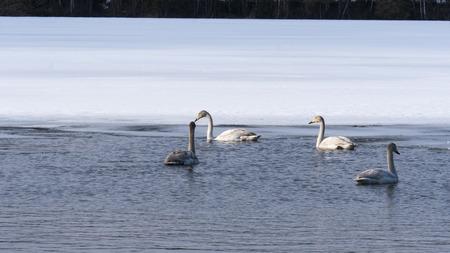 swans in lake in Norrbotten in winter