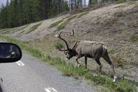 deer on a swedish roads Stock Photo