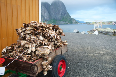Codfishes heads drying in Lofoten Islands, Фото со стока
